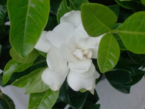 gardenia-005